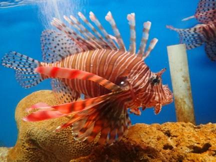 Lion fish, Vietnam Oceanographic Institute and Oceanography Museum, Nha Trang, Vietnam