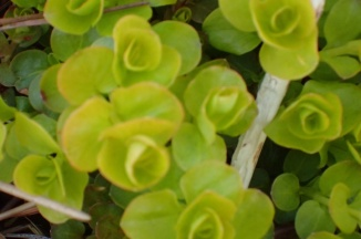 Creeping jenny, human view