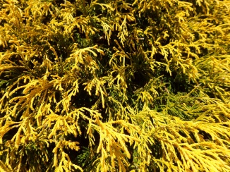 Yellow shrub, human view