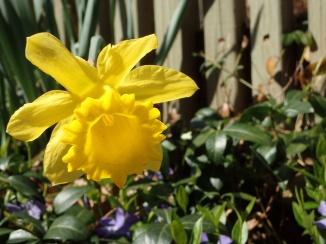 Daffodil, human view