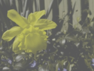 Daffodil, dog view
