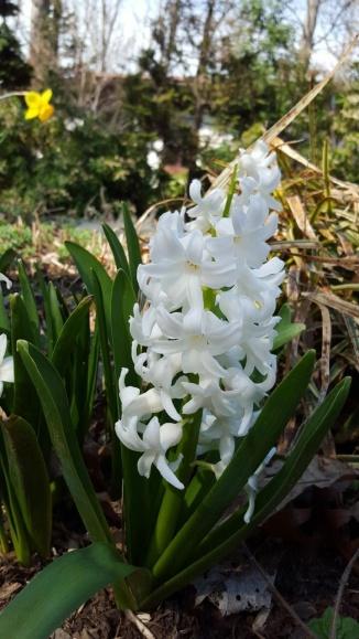 Hyacinth, human view