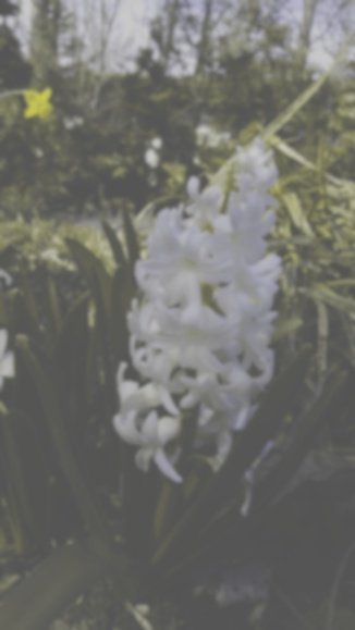 Hyacinth, dog view