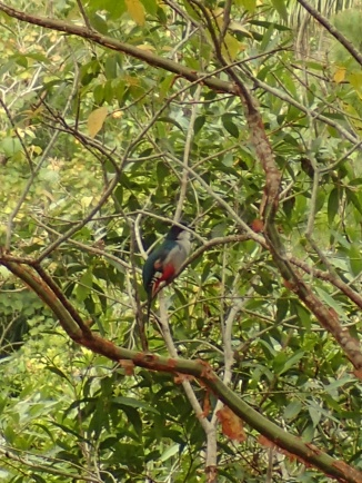 Cuban trogon, national bird of Cuba