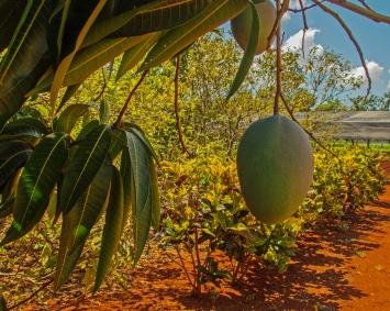 Fruit at Organoponico Vivaro Alamar