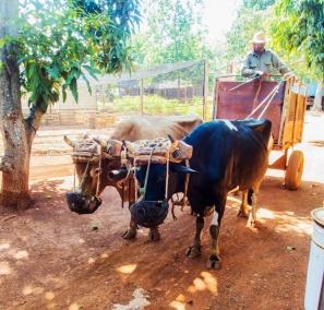Oxen at Organoponico Vivaro Alamar