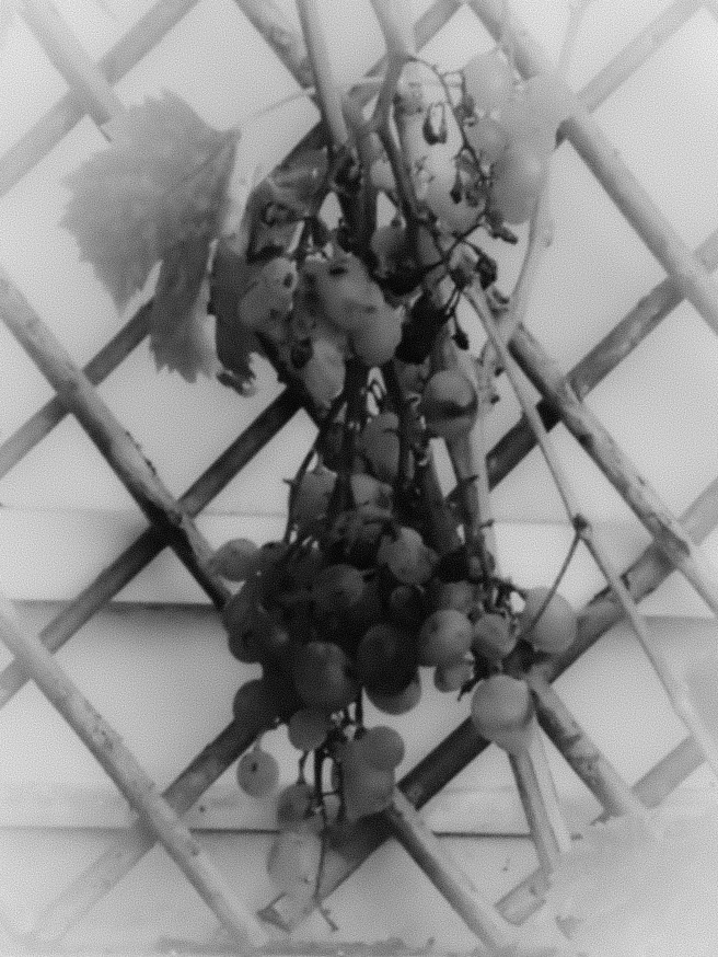 Grape Vine on a Bamboo Trellis