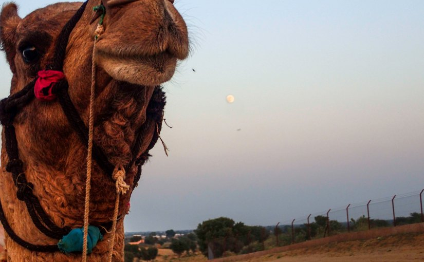 Cheeky Camel