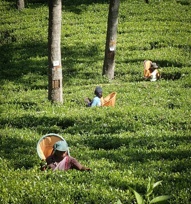 A Trio of Tea Pickers