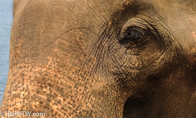 Wild Sri Lankan Elephant