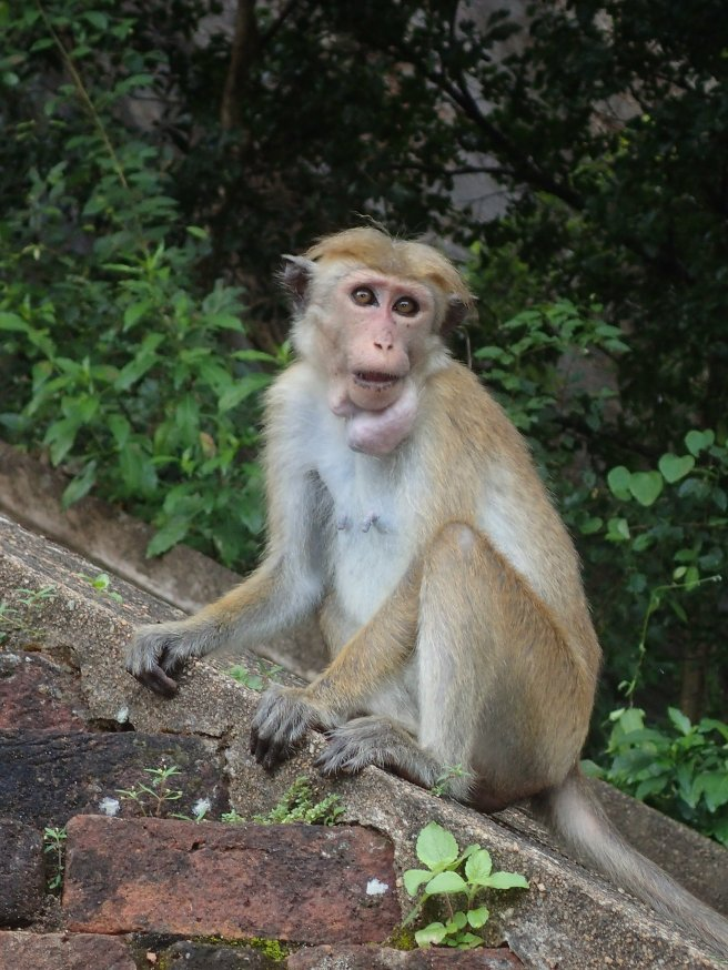 Monkey on Sigiriya Rock