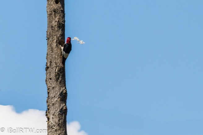 Red-headed Woodpecker Building Nest