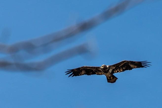 Hawk at Huntley Meadows