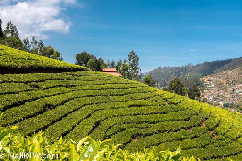 Ooty Tea Plantation