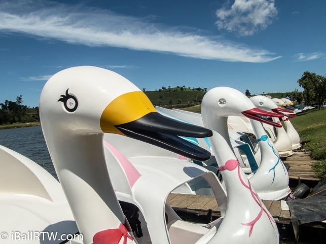 Five Swan Boats
