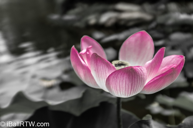 Lotus at Green Spring Gardens